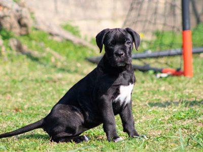 cachorro-cane-corso-dei-briganti-en-venta