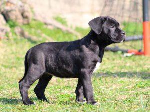 cachorros de cane corso en venta