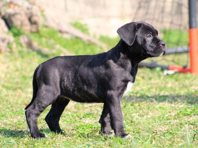 cachorro-cane-corso-en-venta-kennel-dei-briganti