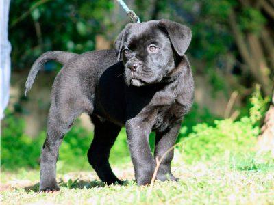 venta-cachorro-cane-corso-kennel-dei-briganti
